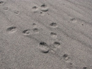 Rabbit Tracks in Sand