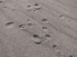 Rabbit Tracks in Sand