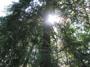 10 Sun Peeking Through Pine Boughs