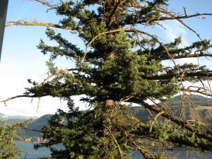 11 Weird Pine Tree
