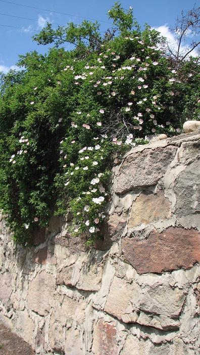 7 Wild Roses
