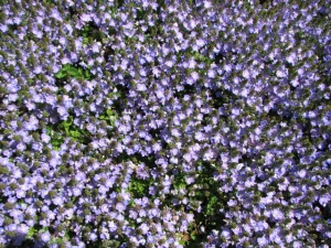 Carpet of Purple Flowers
