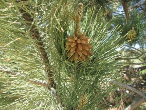 Pine Cone and Bough