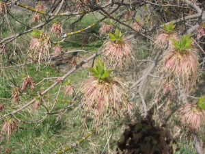 Tree with Pink Tassels