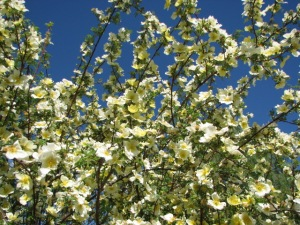 Tree with YellowWhite Blossoms 1