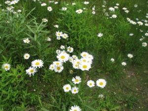 White Daisies 6_08_10