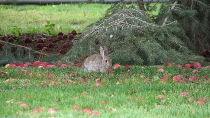 Cottontail Eating Apple