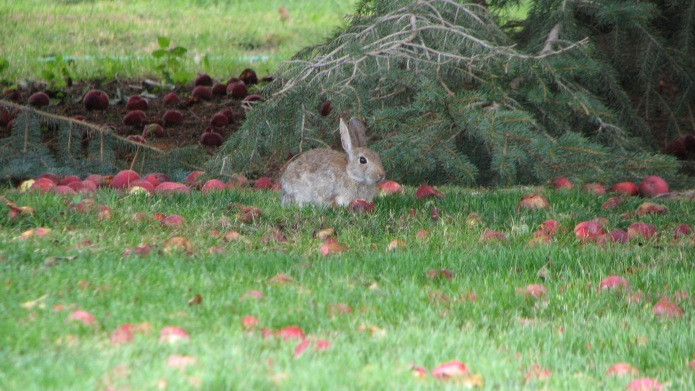 Cottontail Looking Up