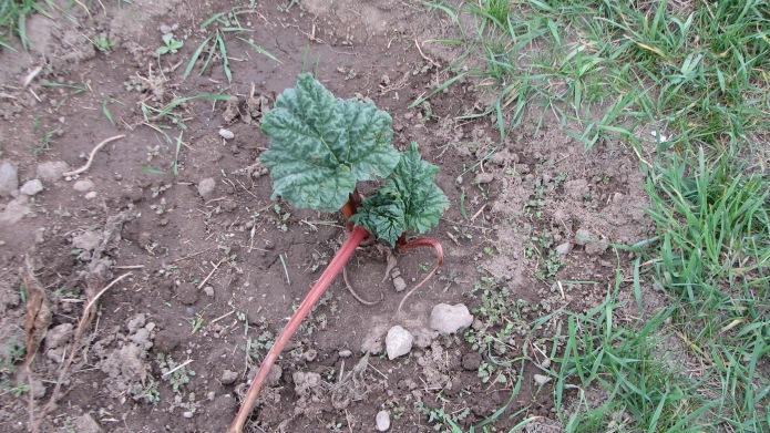 3 Rhubarb
